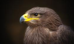 golden eagle, bird of prey, raptor, adler, bird, zoo