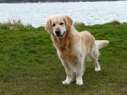 golden, retriever, dog, pet, animals