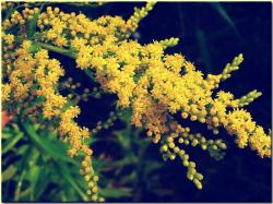 golden rod, yellow, meadow, wild flower, nature, plant