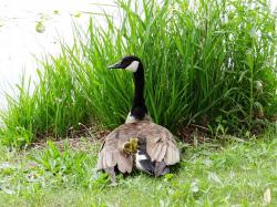 goslings, mother goose, feathers, nature, protect