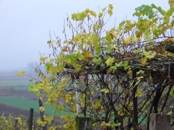 grape, bower, autumn, fog