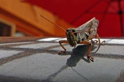 grasshopper, locust, insect, animal, nature, macro