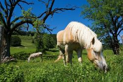 grazing, horse, grass, meadow, fence, nature, outside