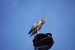 great blue heron, bird, sky, clouds, nature, outside