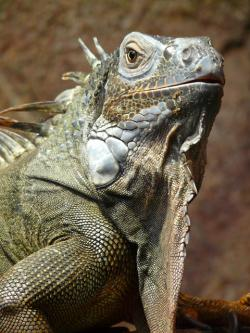 green iguana, iguana, reptile, animal, creature, dragon