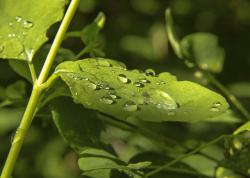 green, leaves, nature, plants, rain drops, forest