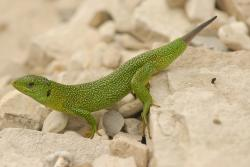 green, lizard, nature