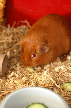 guinea, pig, animal, rodent, pet, fluffy, brown, ginger