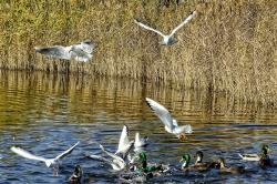 gulls, birds, bird, fly, nature, river, flying