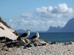 gulls, dominican seagulls, sea birds, south africa