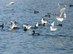 gulls, ducks, coots, water, scrum, feeding