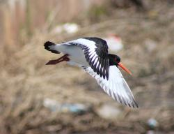 haematopus ostralegus, bird, flight, flying, closeup