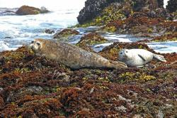 harbor, harbor seals, seal, seals, coast, water, sea
