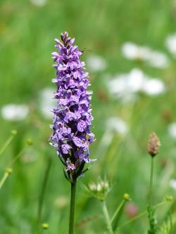 heath spotted orchid, orchid, flower, purple, spotted