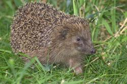 hedgehog, hannah, crepuscular, pets, spur, animal