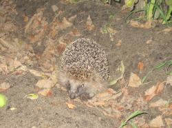 hedgehog, spur, hibernation, nocturnal, animal, autumn