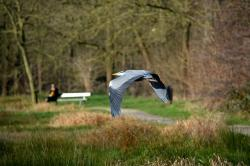 heron, bird, nature, fly, wings