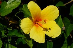 hibiscus, flower, yellow, plant, beautiful, close