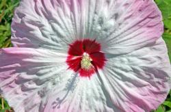 hibiscus, pink, white, flower