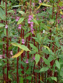 himalayan balsam, stalk, red, plant stems, plant
