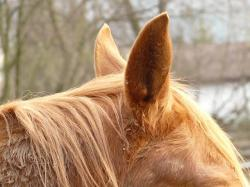 horse ears, ears, horse, animal, fur, lpony, creature