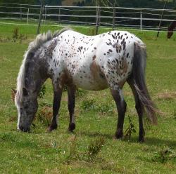 horse, equine, spotted, spots, grazing, pasture, meadow