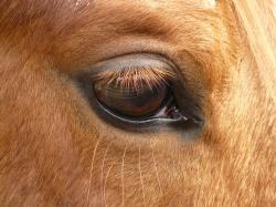 horse, eye, animal, eyelashes
