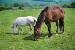 horse, horses, animal, eating, grass, pasture, meadow