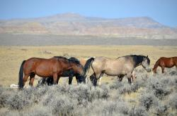 horses, blm, wyoming, mustangs, wild mustangs, animals