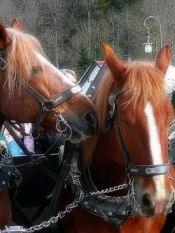 horses, harness, carriage, travel, animal, nature