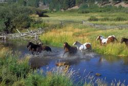horses, running, ranch, stream, water, plants, trees