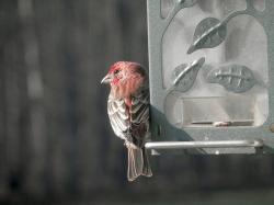 house finch, bird, bird feeder, closeup