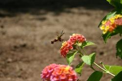 humming, bird, moth, moths, insect, flower, flowers