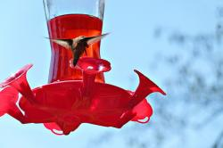 hummingbird, bird, nature, feeding station, canada