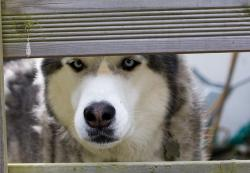 husky, dog, siberian husky, pet, animal, canine, eyes