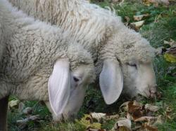 idiots, sheep, pasture, animal, flock, wool, ears