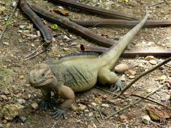 iguana, animal, exotic, dominican, republic, country