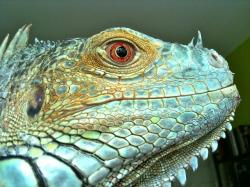 iguana, reptile, lizard, green, blue, scales, profile