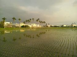 in rice field, landscape, areca catechu tree, sky