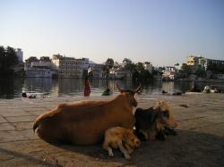 india, cow, dog, pets, holy, road