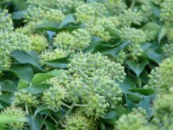 inflorescences, ivy, common ivy, hedera helix, climber