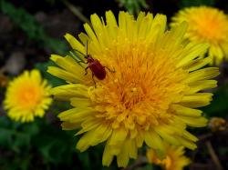 insect, beetle, flower, dandelion, yellow, red, bright