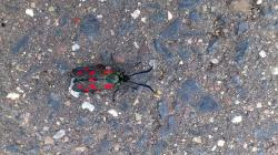 insect, butterfly, small five spot burnet