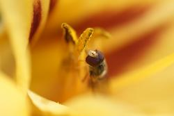 insect, macro, hover fly, daylily, yellow, summer