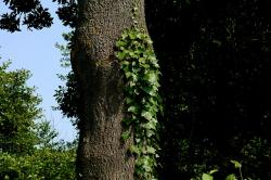 ivy, tree, ranke, green, make the most of