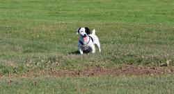 jack russell, jack russell terrier, terrier, dog