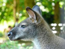kangaroo, marsupial, animal, fur, ears