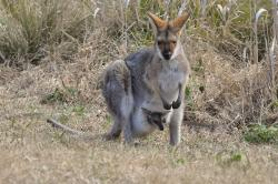 kangaroo, wallaby, pouch, joey, wildlife, nature