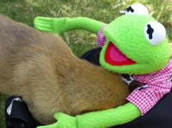 kermit, frog, young dog, playful, play, fun