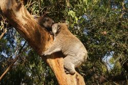 koala, australia, koala bear, lazy, rest, animal